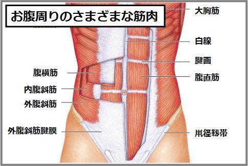 お腹にあるインナーマッスルは腹横筋と内腹斜筋