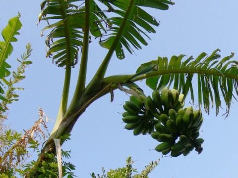 バナナは先端側が一番甘い-ためしてガッテン