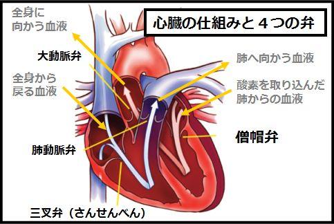 心臓の仕組みと4つの弁