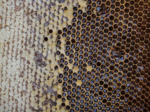 ハチミツによる皮膚の傷の再生メカニズム
