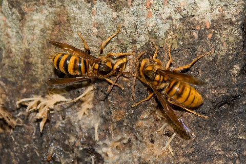 大増殖「キイロスズメバチ」遭遇したときの対策
